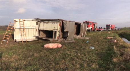 Wypadek z udziałem 100 sztuk świń