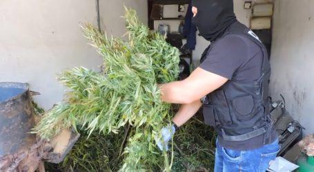 Policjanci zabezpieczyli ponad 2.3 kg marihuany oraz zlikwidowali dwie plantacje konopi indyjskich