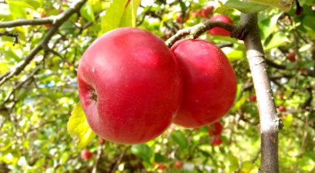 W sobotę bicie Rekordu Polski w Jednoczesnym Jedzeniu Jabłek