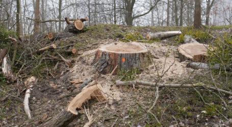 Wycinka drzew w Pile