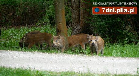Dziki w Parku Miejskim w Pile – VIDEO