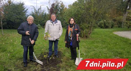 Leszek Miller posadził drzewo w Pile